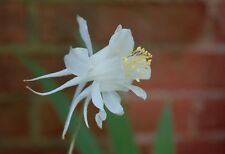 PERENNIAL FLOWER AQUILEGIA COLUMBINE CRYSTAL STAR 0.4 GRAM ~ APPROX 360 SEEDS
