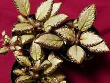 "Episcia Silver Skies 2"" Pot Gesneriad African Violet Relative Terrarium Flame"