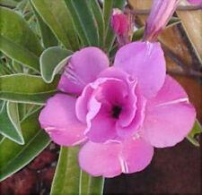 """5-SEMI DI Adenium obesum""""Double-Delight""""Rosa del deserto -""""semi freschi """"SEEDS"""