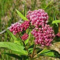 Milkweed- Swamp - Carmine/rose-Asclepias Incarnata- 25 Seeds- BOGO 50% off SALE