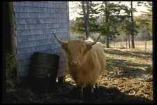 066093 Highland Cattle A4 Photo Print