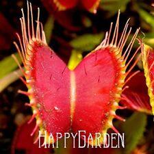 DIONAEA MUSCIPULA Giant Venus Fly Trap Seeds Carnivorous Plant Seed 50 - UK