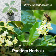 Live plants, Psychotria carthagenensis / alba, Amyruca, 1-2 years old