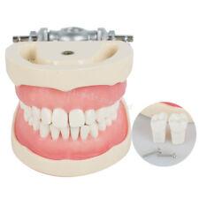 Useful Dental Lab Teach Standard Typodont Demonstration Model Teeth 32 Soft Gum