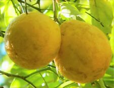 RARE HARDY LEMON HUGE BASEBALL SIZE LEMONS FRUIT TREES 3