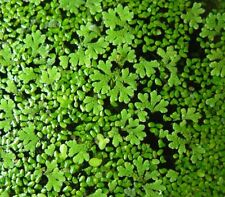 Duckweed + Azolla Fern MIX / Starter Pack  1 15 x10cm Snap Seal Bag~ONLY NSW ACT