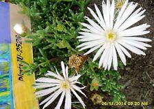 Garden Succulent MESEMBRYANTHEUM (PIGFACE) White Plant Fresh Cuttings