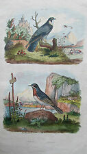 Gravure en couleur XIXè s. Faucon pèlerin (ou hobereau). Fauvette passerinette.