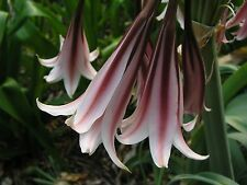 Crinum Lily, Bulbispermum  'Roseum', medium-size bulb