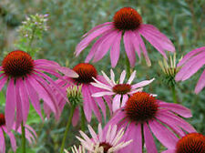 20 semi di Echinacea purple * CONEFLOWER * Echinacea Purpurea seeds *** semillas