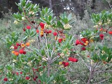 Fantástico Strawberry Tree Semillas (25)
