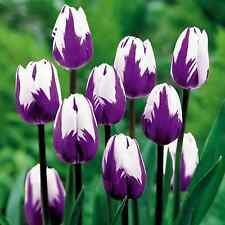 Humphreys Garden Blueberry Ripple Tulip x 10 Bulbs Spring flowers Rare.