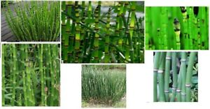 Horse Tail Water Pond Plant 25 Seeds Neat Tall Stalk Stem Like Plants USA Seller