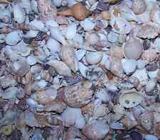 "1+ LB WHOLESALE BEACH SEASHELLS SEA SHELLS 1/2""+ WEDDINGS CRAFTS FISH TANK WOW"