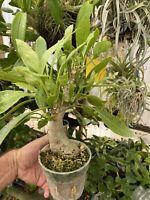 Myrmecodia Beccarii Ant Plant epiphyte caudex plant