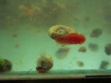 100+ Pink/Red, Brown Assortment Of Ramshorn Feeder Snails Going Out Of Business