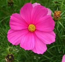 6 gr  Cosmos Sensation Rosa  (Cosmos bipinnatus) (S)  150 Sem. Aprox.