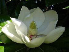 Southern Magnolia (Magnolia grandfiflora) 15 Seeds