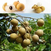 5x Rare Fruit bonsai Dwarf Longan Chompoo/Dragon Eye Exotic Fruit Seeds New Q2L2