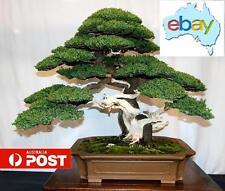 10 X CHINESE JUNIPER BONSAI / TREE SEEDS