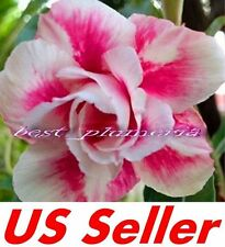 "5 Seeds, Adenium Obesum Desert Rose ""Prety Girl"" B101, Garden Flower Seeds"