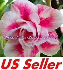 "5 Seeds, Adenium Obesum Desert Rose ""Prety Girl"" B101, Garden Flower Seeds"
