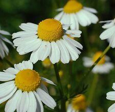 German Chamomile Matricaria chamomilla 1000 seeds * herb * ez grow * E44
