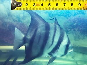 LARGE SPADE FISH ATLANTIC Angelfish Live Saltwater Fish 6 to 8 inched * beautifu