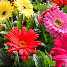 GERBER HYBRIDS MIX - 40 SEEDS - Bright colors - Long stems - Gerbera jamesonii