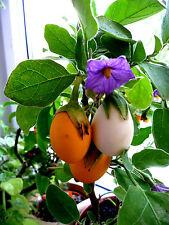 """AUBERGINE weiß, """"Dourga"""" Eierbaum, Topf, Ei, weiß,gelb, lila Blüten,Zimmer,"""