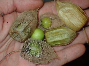 Longleaf Ground Cherry (Physalis longifolia) hardy perennial - 30 fresh seed