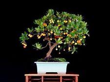 Arbutus unedo (Strawberry tree) - 50 Seeds Bonsai