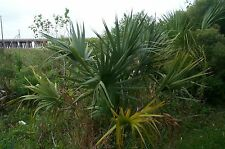 Sabal minor McCurtain COLD HARDY DWARF PALMETTO Seeds!