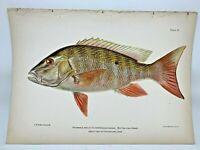 Original Antique Lithograph Fishes Puerto Rico Bien 1899 Plate 21 Mutton Fish