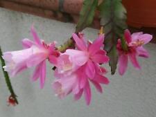 """3 schöne Epiphyllum Blattkaktus - Stecklinge """" DEUTSCHE KAISERIN """" Rosa-blühend"""