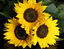 Sunflower Fragrance Oil 15ml