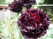 Huge Rare Black Peony Double Papaver Somniferum Poppy Seeds 500 *Shelley orig