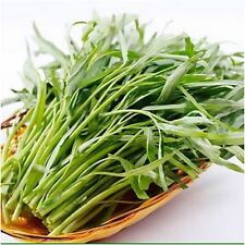 WATER SPINACH 50+Seeds,kangkong, River Spinach, Chinese Spinach or Watercress -
