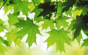5 x Japanese Maple tree seeds (acer palmatum) tree seeds.