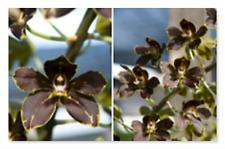 MOS. Orchid Grammatophyllum Crownfox Leopard PK  (mericlone) Very dark flower!