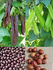 Organic Purple/Green Winged Bean Seeds(Psophocarpus tetragonolobus)FREE SHIPPING