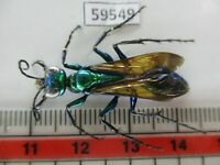 59549*****Hymenoptera, Ampulicidae?. Vietnam South*****