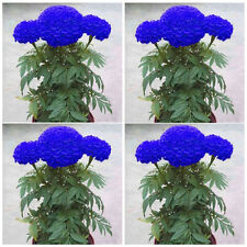 200Pcs Blue Marigold Maidenhair Seeds Home Garden Edible Flower Plant Seed Decor