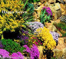 SPRING FEVER MIX 05 grams - Armeria - Cerastium - Alyssum - PERENNIAL FLOWER MIX
