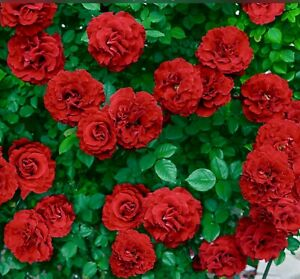 RARE CLIMBING ROSES RED,PINK,WHITE 30+ STRATIFIED FRESH VIABLE SEEDS +FREE GIFT!