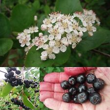 Rare!!! Black Chokeberry Shrub, Aronia Melanocarpa, 50 seeds
