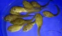 100 Lot Live Bullfrog Tadpoles-Algae Control For Koi and Goldfish Pond pkf