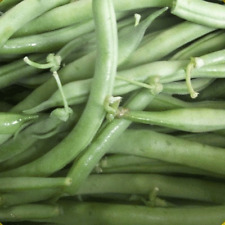 1 Lb Landreth Stringless Green Bush Bean Seeds - Everwilde Farms Mylar Packet