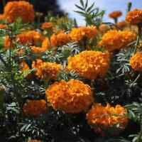 Marigold African ORANGE Tall Tagetes erecta Beneficial for Gardens 50 Seeds