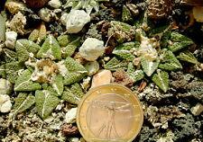 5 Ariocarpus fissuratus x kotschoubeyanus IB27 semi seeds no stapelia huernia